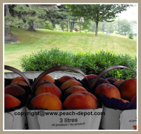 Baskets of Fresh Peaches