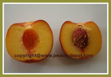 Picture of a Freestone Peach