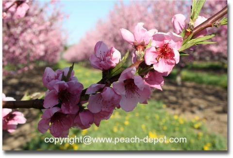 Peach Blossom Time in Winona Ontario Canada
