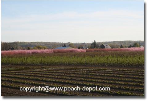 Peach Trees Flowering in Niagara Area Ontario Canada