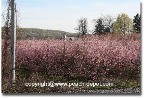 Peach Trees Flowering