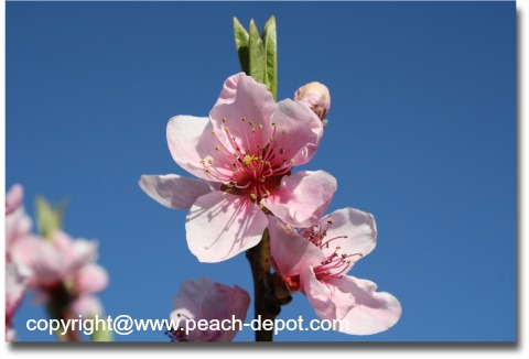 Picture of a Peach Tree Flower