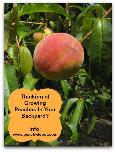 Growing Peaches at Home