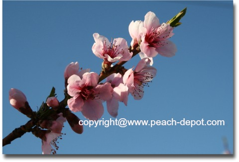 Picture of Beautiful Pink Peach Tree  Blossoms