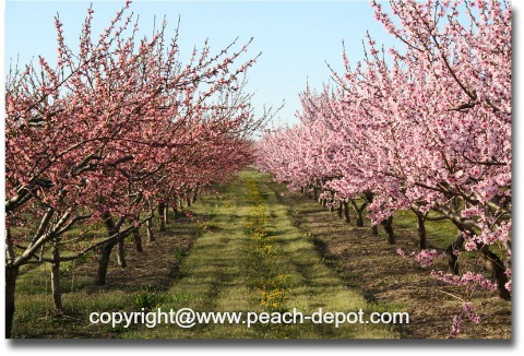 Different Colours of Peach Blossoms