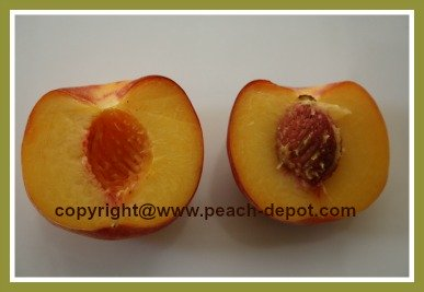 Picture of a Freestone Peach