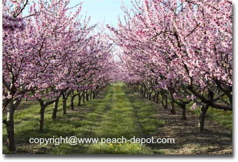 Pictures /Images of Peach Trees in Bloom /Blossom in May in Niagara, ON