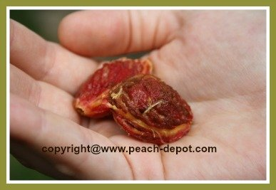 Picture of a Peach Pit / Peach Seed