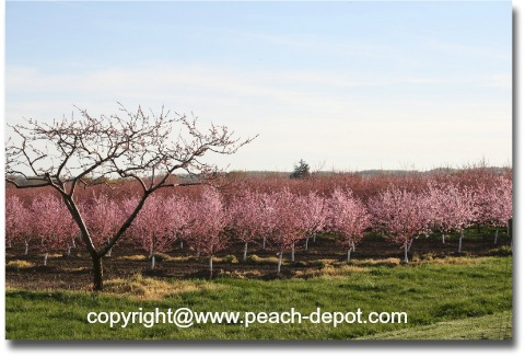 Young Peach Trees in Bloom